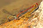 NZ Damselfly laying eggs