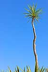 Spiky cabbage tree against sky