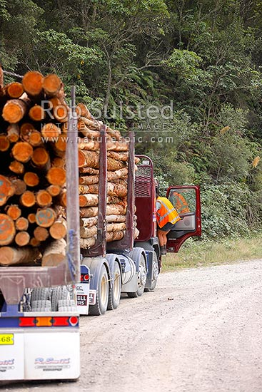 Forestry logging truck and trailer unit taking freshly cut timber logs out of forest on gravel back road, Rotorua, New Zealand (NZ) stock photo.