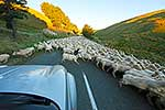 Moving sheep off roadway
