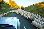 Sheep being moved on roadway