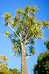 Cabbage tree against sky
