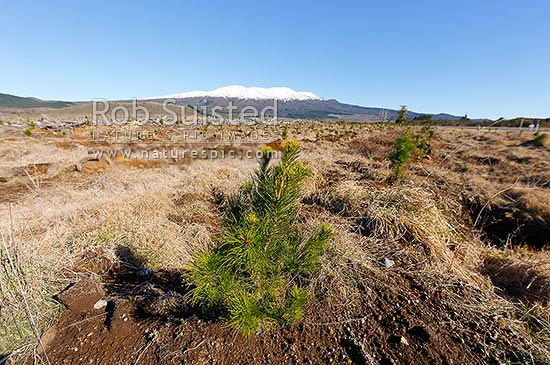 Young Pine tree seedlings in commercial plantation forest (Pinus radiata, Pinaceae) known as Monterey Pine. Mount Tongariro beyond, Rangipo, Taupo District, Waikato Region, New Zealand (NZ) stock photo.