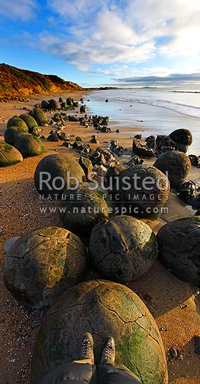Moeraki Boulders / Kaihinaki on Koekohe Beach. 60 Million year old mudstone concretions. Visitor standing on boulder. Vertical panorama, Moeraki, Waitaki District, Otago Region, New Zealand (NZ) stock photo.