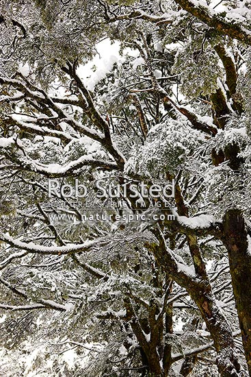 Mountain Beech forest in heavy snowfall (Fuscospora cliffortioides, Syn Nothofagus solandri var. cliffortioides), Arthur's Pass National Park, New Zealand (NZ) stock photo.