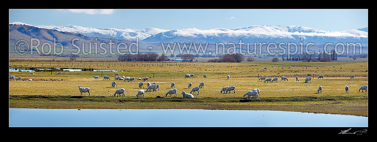 Image of Sheep grazing in the lush Ida Valley on a spring/winter day. Raggedy Range and Dunstan Mountains beyond. Irrigation lake reflecting on a perfectly calm day. Panorama, Ida Valley, Central Otago District, Otago Region, New Zealand (NZ) stock photo image