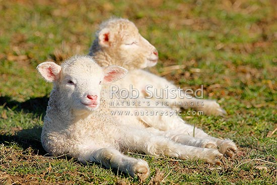 Spring lambs newborn enjoying sunshine in pasture. Sheep (Ovis aries), New Zealand (NZ) stock photo.