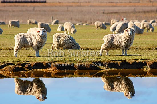 Sheep reflected in irrigation pond in pasture. Spring, New Zealand (NZ) stock photo.