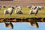 Sheep grazing close to pond