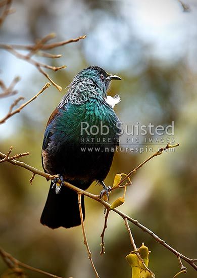 Tui bird sitting in Kowhai tree. NZ natives (Prosthemadera novaeseelandiae = Tui), (Sophora sp. = Kowhai), New Zealand (NZ) stock photo.