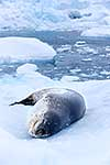 Resting Leopard Seal