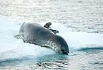 Leopard Seal going for swim
