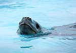 Nosy Leopard Seal