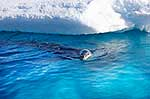 Leopard Seal male on the hunt