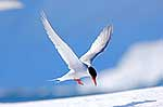Antarctic Tern adult in flight