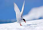 Antarctic Tern making landing on ice