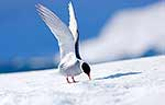 Antarctic Adult Tern Bird