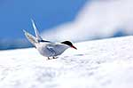 Adult Antarctic Tern on ice