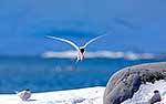 Antarctic Tern landing on snow