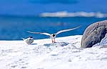 Tern making landing on snow