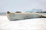 Adult female Weddell seal relaxing