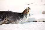 Adult female Weddell seal