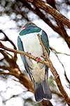Wood pigeon perched during winter