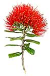 Native Pohutukawa bloom