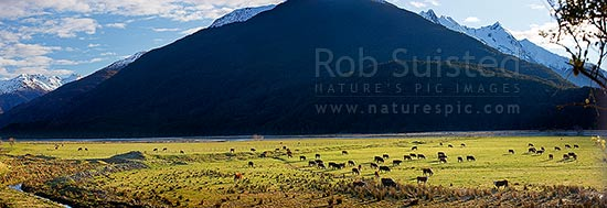 Makarora River valley farmland. Hereford cattle grazing on flats in late afternoon sun during winter. Snow on the high country peaks. Panorama, Makarora, Queenstown Lakes District, Otago Region, New Zealand (NZ) stock photo.