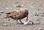 Brown Skua eating Gentoo chick