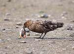 Brown skua eating chick