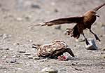 Battle over skua's prey