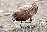 Brown Skua eating stolen egg