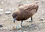 Brown Skua eating Penguin egg
