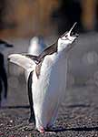 Chrinstrap Penguin
