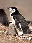 Penguin on nest with young chick