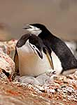 Adult penguin on nest with chicks