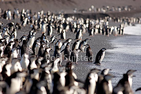 Chinstrap Penguins on beach at Bailey Head, entering and leaving surf (Pygoscelis antarcticus, Spheniscidae), Deception Island, Antarctica Region, Antarctica stock photo.