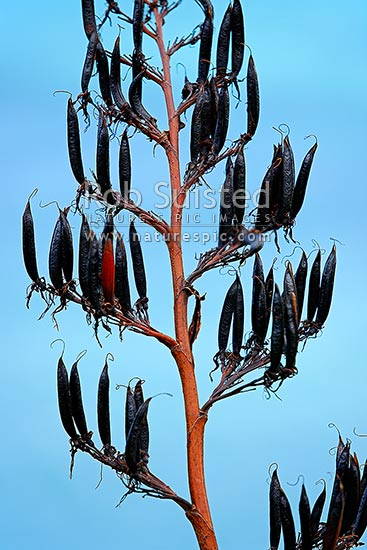 NZ native flax plant seed head ripe in sun (Phormium tenax), New Zealand (NZ) stock photo.