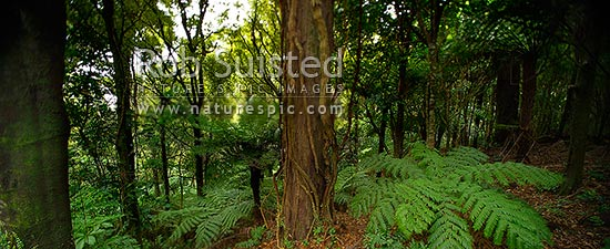 NZ native bush. Rimu tree and tree ferns inside forest. Abstract selective tilt blur focus panorama, Wellington, New Zealand (NZ) stock photo.
