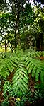 NZ Bush ferny panorama