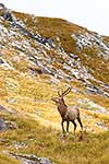 Young wapiti in Fiordland hills