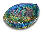 NZ Paua shell