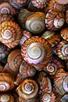 Spiral native NZ mollusc