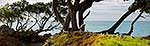 Old Pohutukawa tree on coast