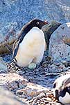 Adelie penguin with hatching egg