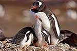 Gentoo penguin with chicks on nest