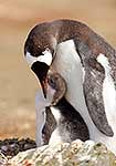 Gentoo Penguin feeding chick