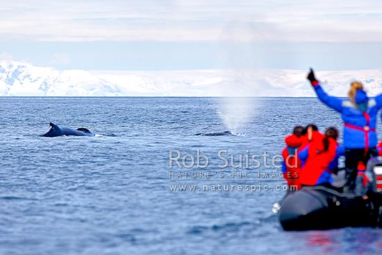Humpback whales surfacing and blowing near tourist zodiac boat in Antarctica (Megaptera novaeangliae). Silversea cruises, Deception Island, Antarctic Peninsula, Antarctica Region, Antarctica stock photo.