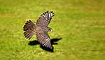 NZ Falcon flying